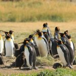 FULL DAY KING PENGUIN VISIT IN TIERRA DEL FUEGO