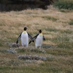 VISITING THE KING PENGUINS IN TIERRA DEL FUEGO (2 DAYS)